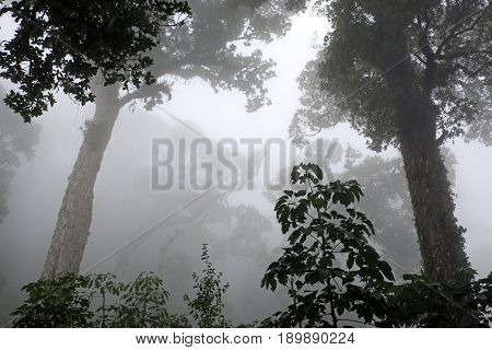 Fogbound Trees in the Cloud Forest of Boquete Panama