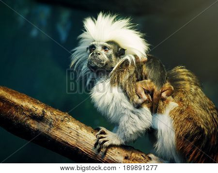 Oedipus Tamarin with a newborn baby on the back