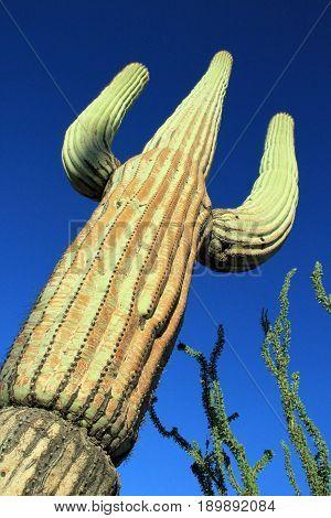 Saguaro Cactus (Carnegiea Gigantea) in Saguaro National Park Tucson. Arizona United States