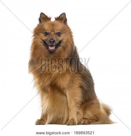 Pomeranian sitting and panting, isolated on white