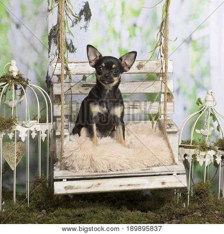 Puppy chihuahua on a pillow, in pastoral decoration