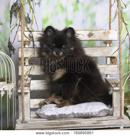 Puppy spitz sitting on a pillow, in pastoral decoration