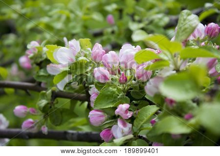 Apple trees in bloom pink flowers. The Apple trees are blooming. Spring flowers blooming. Apple tree in spring. Apple blossoms