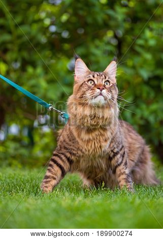 Black tabby Maine Coon cat with leash wandering in backyard. Young cute male cat wearing a harness go on lawn. Pets walking outdoor adventure on green grass in park.