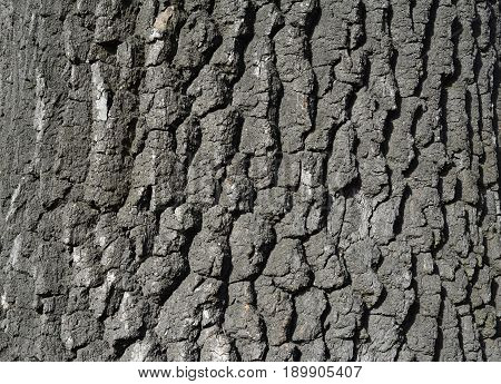 Oak tree bark texture. Old tree bark background.