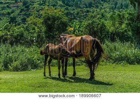 Brown mare and foal in a green field in a Bhutanese village