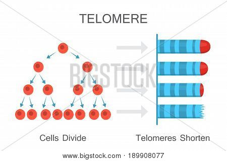 Cells divide - telomeres shorten. Vector illustration design
