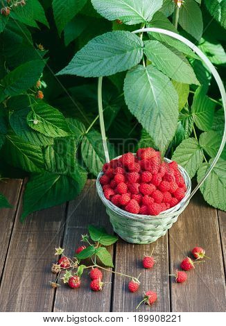 Wicker basket full of raspberries with copy space on wooden table, outdoors near raspberry bush with green leaves background. Vertical, copy space