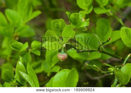 Flower of wild European blueberry or Vaccinum myrtillus hiding in leaves macro in twilight forest selective focus shallow DOF.