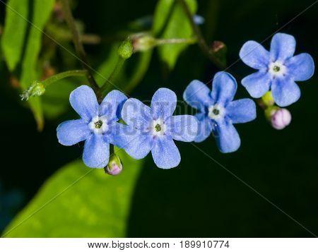 Forget me not Myosotis small flowers macro selective focus shallow DOF.