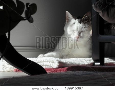 Female adult cat with eyes closed sleeping in a shady corner with front sunlight. Mostly white mature feline resting in a dark home corner with light on her face.