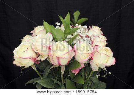 One dozen bunch of off-white roses with light red accents closeup. Creamy white roses with red streaks babys breath green leaves with a black background close-up.