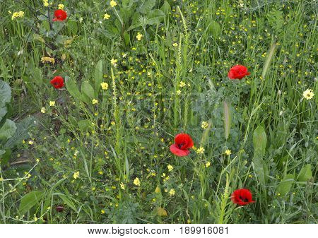 Poppy flowers and barbarea growing among the grass on the field