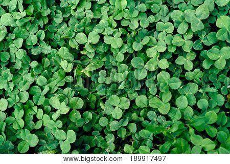 Background of fresh green leaves. Green leaves background. Green background with leaves. Flat lay free space. Nature background