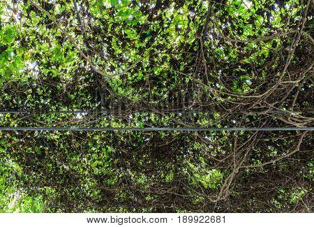 Dry ivy on the metal frame camber in the urban park.