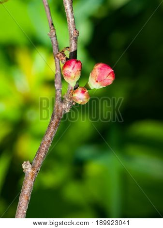 Japanese quince Chaenomeles japonica flower buds on branch macro selective focus shallow DOF.