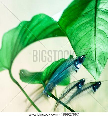 Kryptopterus (glass catfish) aquarium fishes; close up