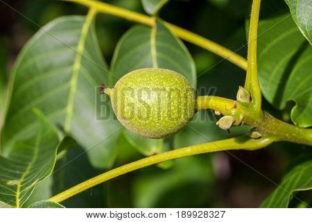 Walnuts branch with fruits. Walnuts keep up on a tree.