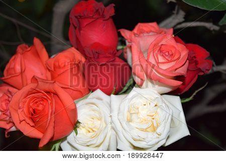 Rosas que significan amor, pasión, entrega, pureza.
