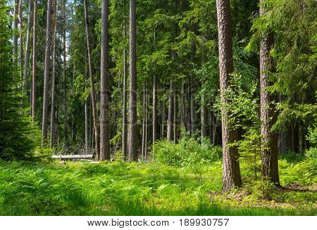 Old pines and spruce trees in summer with ferns among Bialowieza Forest Poland Europe