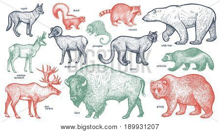 Animals with names set. Polar bear coyote puma skunk wolverine antelope raccoon porcupine reindeer ram bison grizzly. Vector illustration. Red green black isolated on white background.