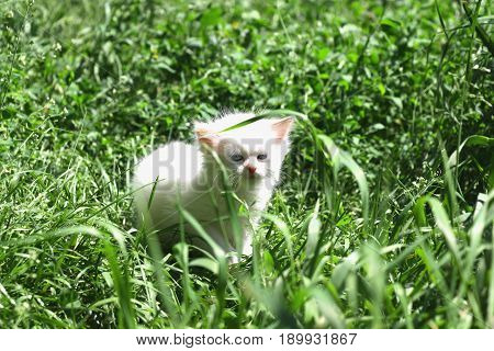 The kitten went for a walk for the first time. A beautiful, white, fluffy kitten looks with great curiosity at the surrounding world around him
