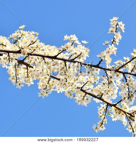 Blooming branch of plum tree in spring day