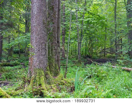 Old alder tree in foregrounf and old natural deciduous stand in background, Bialowieza Forest, Poland, Europe