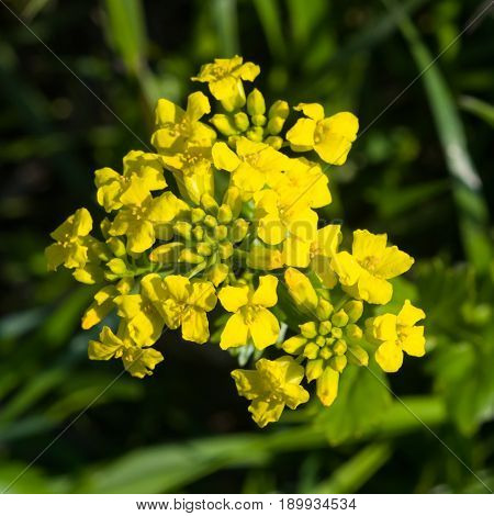 Flowers of herb barbara bittercress or Barbarea vulgaris macro selective focus shallow DOF.