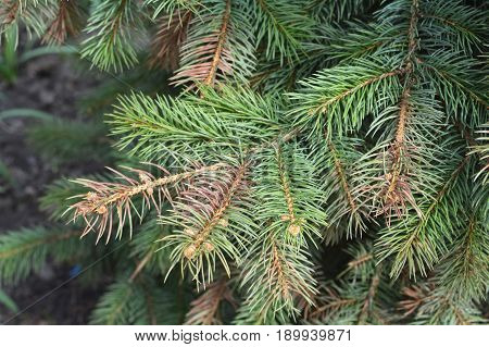 Sun scald on evergreen tree. Discolored blue spruce needles. Winter injury.