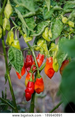 Pimento pepper plant gardening organic spice healthy produce Caribbean food ingredient