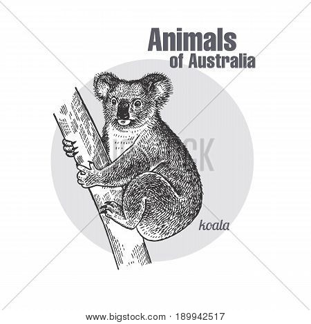 Koala bear hand drawing. Animals of Australia series. Vintage engraving style. Vector art illustration. Black graphic isolate on white background. The object of a naturalistic sketch.