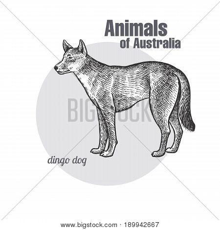 Dingo Dog hand drawing. Animals of Australia series. Vintage engraving style. Vector art illustration. Black graphic isolate on white background. The object of a naturalistic sketch.