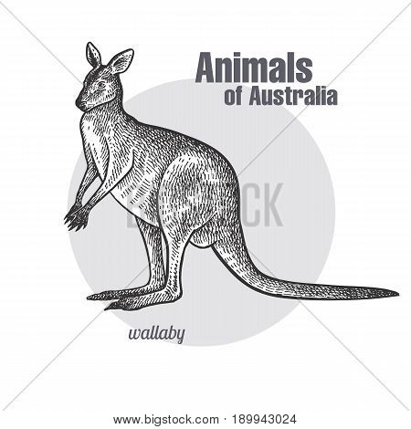 Wallaby or kangaroo hand drawing. Animals of Australia series. Vintage engraving style. Vector art illustration. Black graphic isolate on white background. The object of a naturalistic sketch.