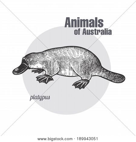 Platypus or duckbill hand drawing. Animals of Australia series. Vintage engraving style. Vector art illustration. Black graphic isolate on white background. The object of a naturalistic sketch.