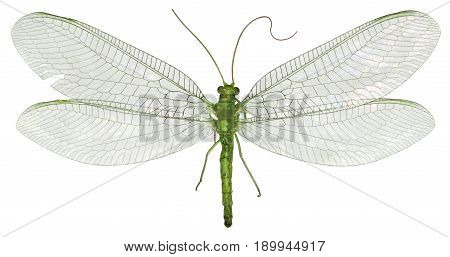 Green Lacewing Chrysopa on white Background - Chrysopa gibeauxi