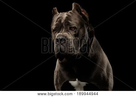 Portrait of Sad Brown Cane Corso Dog, Studio shot on Isolated black background