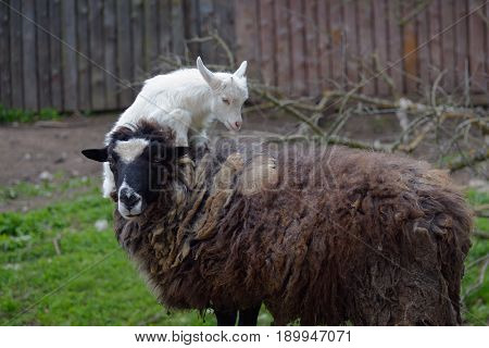 Little white kid jumps on a brown shaggy sheep