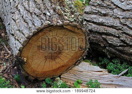 Tree trunk in lenga beech tree forest, Nothofagus Pumilio, Reserva Nacional Laguna Parrillar, near Punta Arenas, Patagonia, Chile poster