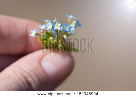 A very small bouquet of forget-me-nots in the hands of a young woman. Tiny forget-me-nots close-up.