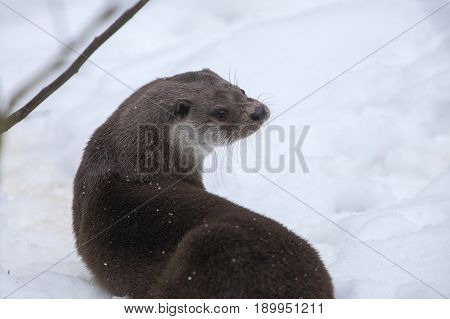 European Otter (Lutra lutra) standing in snow in a Forest Portrait