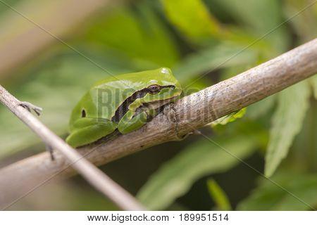 European Tree Frog (Hyla arborea) resting on a Stem