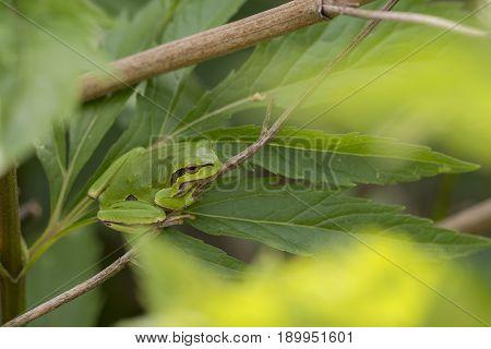 European Tree Frog (Hyla arborea) resting on a Leaf