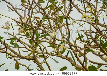 Frangipani, White Flower In A Garden. Frangipani Is Flower Which Grow In Philippines.