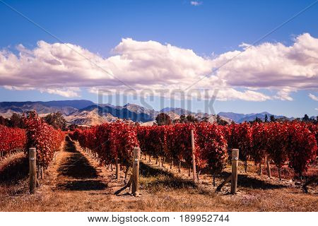 Autumn Colorful Vineyards In Marlborough Wine Country, Nz