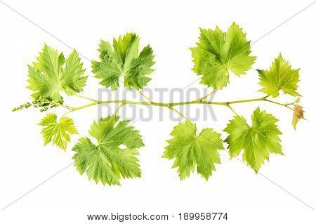 Grape vine leaf isolated on white background. Fresh green leaves. Vine sprig. Nature object