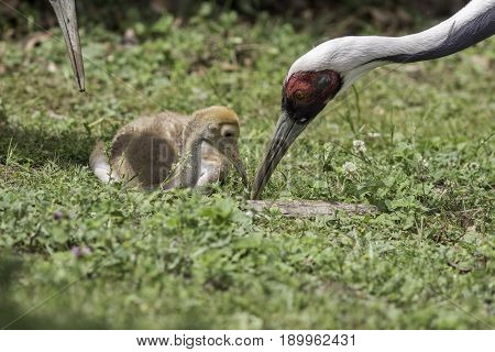 White-naped crane (Grus vipio) feeding chick. Nature family image. Parent bird tending to cute chick.