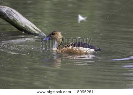 Fulvous whistling duck (Dendrocygna bicolor) in profile on water poster