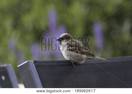 Common urban garden bird perched on chair. Male house sparrow (Passer domesticus) on garden furniture against blurred green background providing copy space.