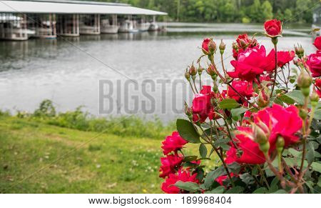 Red roses at marina with boats in background. Background image with soft focus in distance. Joe Wheeler State Park, Alabama
